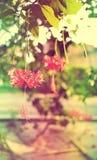 在葡萄酒颜色的甜和软的花木槿schizopetalus 免版税库存照片