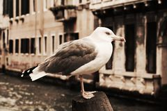 在葡萄酒颜色的被隔绝的海鸥,在威尼斯,意大利 免版税库存照片