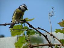 在葡萄麻线的蓝冠山雀 库存照片