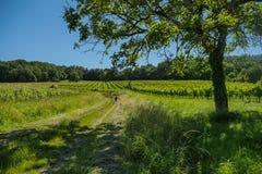在葡萄wineyards的日出在红葡萄酒地区 库存图片