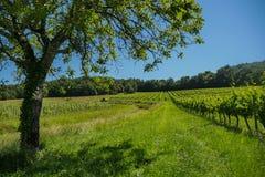 在葡萄wineyards的日出在红葡萄酒地区 免版税库存图片