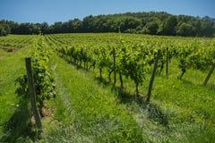 在葡萄wineyards的日出在红葡萄酒地区 库存照片