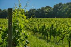 在葡萄wineyards的日出在红葡萄酒地区 免版税库存照片