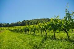 在葡萄wineyards的日出在红葡萄酒地区 免版税图库摄影