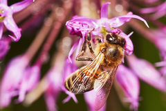 在葱属花的蜂 免版税库存图片