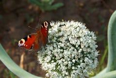 在葱花的一只蝴蝶孔雀眼睛 免版税库存图片