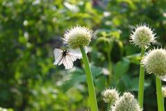在葱花的白色蝴蝶有软的背景 免版税库存照片