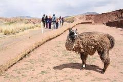 在蒂亚瓦纳科废墟的滑稽的骆马, Altiplano,玻利维亚 库存图片