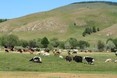 在蒙古干草原的牦牛 免版税库存照片