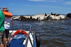在蒙得维的亚海岸的海狮  免版税库存图片