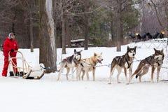 在蒙特利尔雪节日期间,有他的提供雪撬的狗的人乘坐 免版税库存照片
