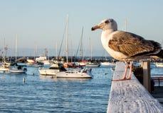 在蒙特里海湾小游艇船坞的鸥 图库摄影