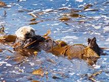 在蒙特里海湾的海獭 免版税图库摄影