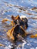 在蒙特里海湾的海獭 库存图片
