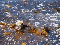 在蒙特里海湾的海獭 免版税库存图片