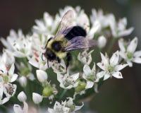 在蒜细香葱植物的土蜂 库存照片