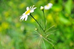 在蒲公英后的春黄菊在原始的背景 图库摄影