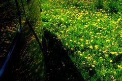 在蒲公英汽车的反射在绿草开花 2 免版税库存照片