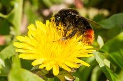 在蒲公英的一只土蜂 免版税图库摄影