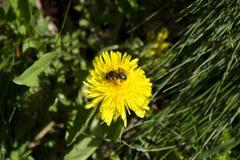 在蒲公英的一只蜂收集花粉的特写镜头观点的 图库摄影