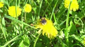 在蒲公英的土蜂收集花粉 股票录像