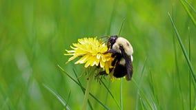 在蒲公英的土蜂,在花顶部的美丽的独特的黄色昆虫 图库摄影