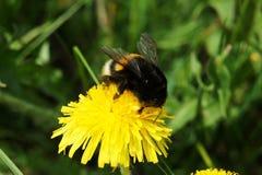 在蒲公英的土蜂 免版税库存图片