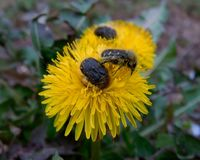 在蒲公英的开花饲养者 免版税库存照片