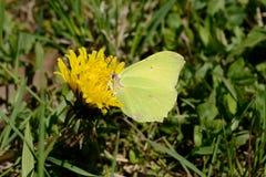 在蒲公英的硫磺蝴蝶 免版税库存图片