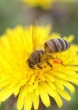 在蒲公英的蜂蜜蜂 免版税库存图片