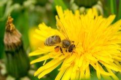 在蒲公英的蜂 免版税库存图片