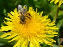 在蒲公英的蜂 免版税库存照片