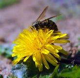 在蒲公英的黄蜂 图库摄影