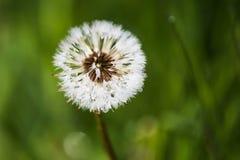 在蒲公英种子的早晨露水在绿色领域在春天 免版税库存照片