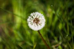 在蒲公英种子的早晨露水在绿色领域在春天 库存照片