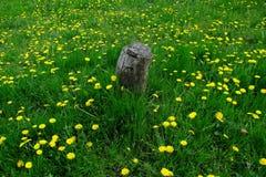 在蒲公英绿草和地毯的偏僻的树桩  3 免版税库存照片