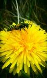 在蒲公英花的一个黄蜂 免版税库存图片