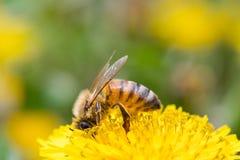 在蒲公英花的蜂蜜蜂 库存照片
