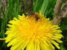 在蒲公英花的蜂蜜蜂 免版税库存照片