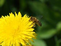 在蒲公英花的蜂 库存图片