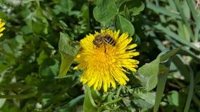 在蒲公英花的蜂 免版税库存照片