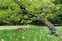 在蒲公英领域的弯曲的橡木 免版税库存图片