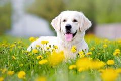 在蒲公英领域的金毛猎犬狗 库存照片