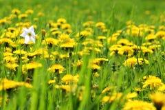 在蒲公英领域的黄水仙 库存照片