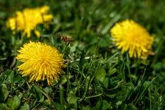 在蒲公英1的蜂 免版税图库摄影
