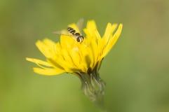 在蒲公英黄色的Syrphid飞行 免版税库存照片