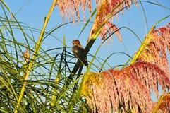 在蒲苇栖息的麻雀 库存照片