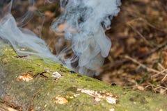 在蒸一棵腐烂的树的树干的小臭虫 图库摄影