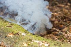 在蒸树的树干的小臭虫 库存照片