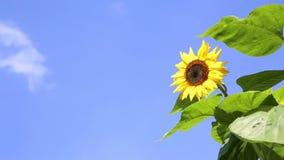 在蓝天前面的向日葵与云彩 股票视频